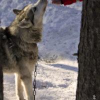 Wolf - Lapland